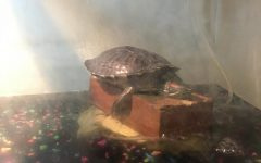 Squishy the turtle, just chilling on a brick in the Scalia household.