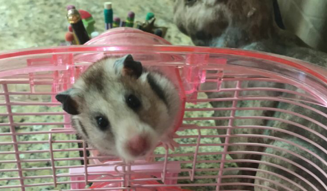 PET PROFILE: Blizzard the Hamster
